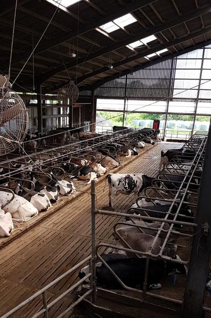 Bild 2: Der großzügige Laufstall der Milchkühe